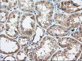 TTC32 Antibody - IHC of paraffin-embedded Human Kidney tissue using anti-TTC32 mouse monoclonal antibody. (Dilution 1:50).