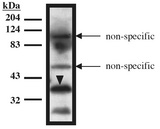 TUP1 Antibody - Western blot of TUP1 antibody on recombinant TUP1 protein (amino acids 1-200) expressed in Mav108 cells.