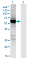 UGT2B7 Antibody - Western Blot analysis of UGT2B7 expression in transfected 293T cell line by UGT2B7 monoclonal antibody (M02), clone 8D12.Lane 1: UGT2B7 transfected lysate (Predicted MW: 58.19 KDa).Lane 2: Non-transfected lysate.