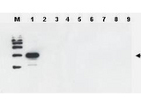 Anti-Yeast ULP-1 Antibody - Western Blot. Western blot of Affinity Purified anti-Yeast ULP-1 antibody was used to confirm the specificity of the antibody. SDS-PAGE of 2 ug of ULP-1 homologues from other sources (lanes 2 through 9). After blocking for 1 hour with 5% non-fat dry milk in TTBS, the blot was probed overnight at 4C with a 1:1000 dilution of anti-yULP1 antibody detected as above. This antibody is specific for yeast ULP1 and does not react with ULP1 from related sources including human SENP.