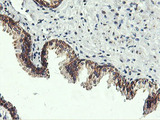 IHC of paraffin-embedded Human prostate tissue using anti-USP10 mouse monoclonal antibody.