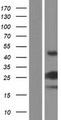 VMAC Protein - Western validation with an anti-DDK antibody * L: Control HEK293 lysate R: Over-expression lysate