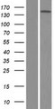VWA5B2 Protein - Western validation with an anti-DDK antibody * L: Control HEK293 lysate R: Over-expression lysate