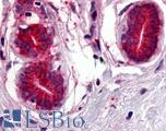 Anti-WNT8A antibody LS-A8515 IHC of human breast. Immunohistochemistry of formalin-fixed, paraffin-embedded tissue after heat-induced antigen retrieval.