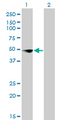 Western blot of CSDA expression in transfected 293T cell line by CSDA monoclonal antibody (M02), clone 4D9.