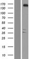 YTHDC2 Protein - Western validation with an anti-DDK antibody * L: Control HEK293 lysate R: Over-expression lysate