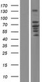 ZDHHC5 Protein - Western validation with an anti-DDK antibody * L: Control HEK293 lysate R: Over-expression lysate