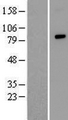 ZFAND4 / ANUBL1 Protein - Western validation with an anti-DDK antibody * L: Control HEK293 lysate R: Over-expression lysate