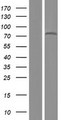 ZNF12 Protein - Western validation with an anti-DDK antibody * L: Control HEK293 lysate R: Over-expression lysate
