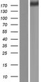 ZNF142 Protein - Western validation with an anti-DDK antibody * L: Control HEK293 lysate R: Over-expression lysate