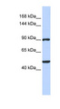 ZNF217 antibody LS-C109810 Western blot of HeLa lysate.  This image was taken for the unconjugated form of this product. Other forms have not been tested.