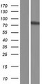 ZNF282 Protein - Western validation with an anti-DDK antibody * L: Control HEK293 lysate R: Over-expression lysate