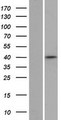 ZNF391 Protein - Western validation with an anti-DDK antibody * L: Control HEK293 lysate R: Over-expression lysate