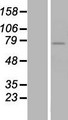 ZNF418 Protein - Western validation with an anti-DDK antibody * L: Control HEK293 lysate R: Over-expression lysate