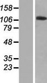 ZNF445 Protein - Western validation with an anti-DDK antibody * L: Control HEK293 lysate R: Over-expression lysate