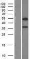 ZNF645 Protein - Western validation with an anti-DDK antibody * L: Control HEK293 lysate R: Over-expression lysate