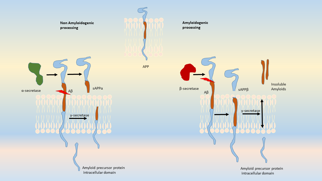 In the non-amyloidogenic pathway, APP is cleaved preferentially by alpha-secretase. In the amyloidogenic pathway, APP is cleaved preferentially by beta-secretase, and neurotoxic Ab peptides are released after sequential cleavage by gamma secretase. These Ab peptides oligomerize into insoluble aggregates that accumulate in neuritic plaques.