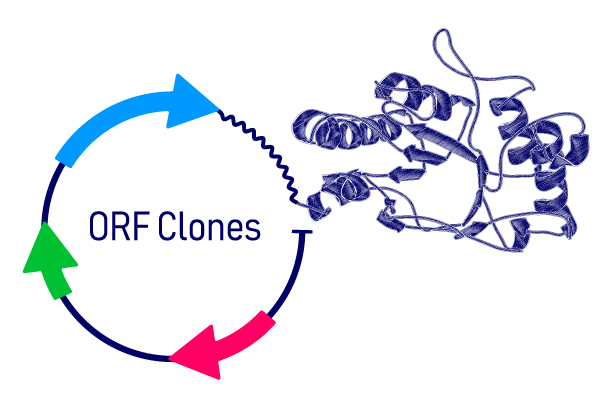 Expression-Ready ORF cDNA Clones