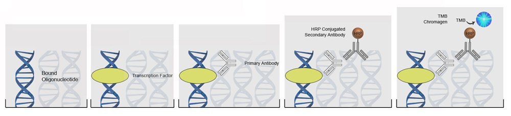 DNA-Binding ELISA Kits Protocol