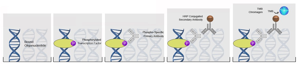 Phospho-Specific DNA-Binding ELISA Kits Protocol
