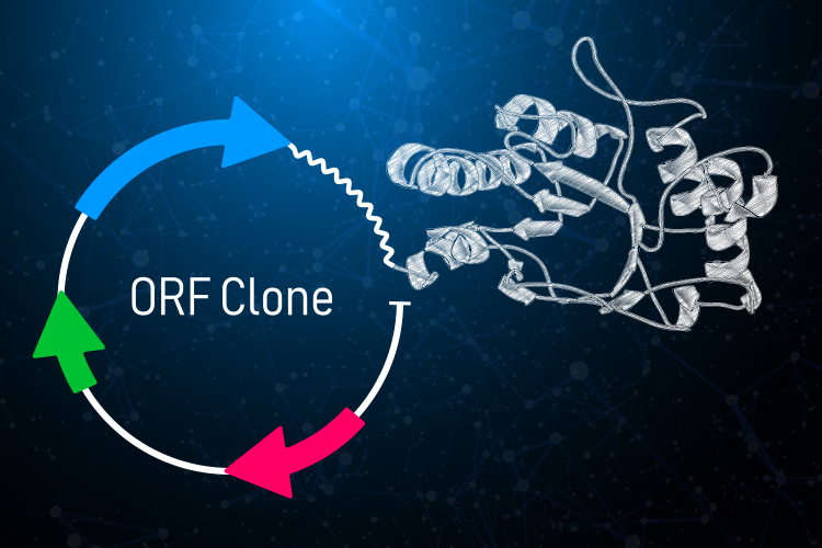 Expression-Ready ORF clones