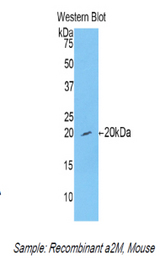 Western blot of recombinant Alpha-2-Macroglobulin / A2M.  This image was taken for the unconjugated form of this product. Other forms have not been tested.