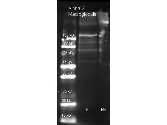 A2M / Alpha-2-Macroglobulin Antibody - Goat anti Alpha-2-Macroglobulin antibody was used to detect Alpha-2-Macroglobulin under reducing (R) and non-reducing (NR) conditions. Reduced samples of purified target proteins contained 4% BME and were boiled for 5 minutes. Samples of ~1ug of protein per lane were run by SDS-PAGE. Protein was transferred to nitrocellulose and probed with 1:3000 dilution of primary antibody. Detection shown was using Dylight 649 conjugated Donkey anti goat. Images were collected using the BioRad VersaDoc System.