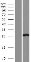 AAED1 / C9orf21 Protein - Western validation with an anti-DDK antibody * L: Control HEK293 lysate R: Over-expression lysate