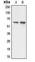 Western blot analysis of AATF expression in HUVEC (A); HeLa (B) whole cell lysates.