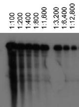 Detection of ABCA1 using ABCA1, mouse antibody at various dilutions in ABCA1 transfected HeLa lysates.