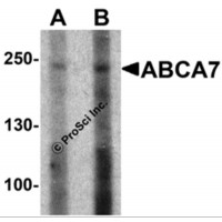 Western blot analysis of ABCA7 in 293 cell lysate with ABCA7 antibody at (A) 1 and (B) 2 µg/mL.