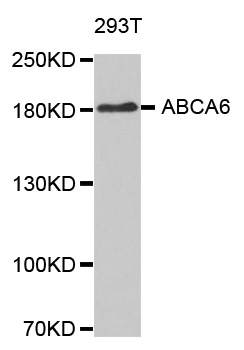 Western blot analysis of extracts of 293T cellline.