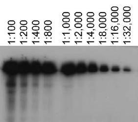 Detection of ABCA7 using antibody at various dilutions in ABCA7 transfected HeLa lysates.  This image was taken for the unconjugated form of this product. Other forms have not been tested.