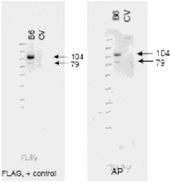Western blot of anti-ABCB6 antibody (right panel, lane B6) shows detection of Flag-tagged human ABCB6 protein at 104 kD and a truncated form of the protein at 79 kD (arrowheads). The antibody successfully detected ABCB6 in KB cells transfected with the ABCB6 protein. A Lysate prepared from KB cells without a vector insert (CV lane) should no reactivity with the antibody. The left panel shows a similar staining pattern using an anti-Flag antibody as a positive control. The membrane was probe.