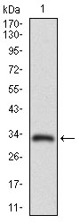 Western blot using ABCC4 monoclonal antibody against human ABCC4 recombinant protein. (Expected MW is 32.4 kDa)