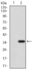 Western blot using ABCC4 monoclonal antibody against HEK293 (1) and ABCC4 (AA: 631-692)-hIgGFc transfected HEK293 (2) cell lysate.