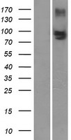 ABCC4 / MRP4 Protein - Western validation with an anti-DDK antibody * L: Control HEK293 lysate R: Over-expression lysate