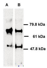 Human ABCE1 detected in immunoprecipitated samples using ABCE1 antibody. Lane 1: HeLa cell lysates, Lane 2: HEK 293 cell lysates.  This image was taken for the unconjugated form of this product. Other forms have not been tested.