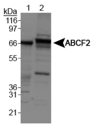 ABCF2 Antibody - ABCF2 Antibody - Western blot of ABCF2 on Lane 1: HeLa whole cell extracts and Lane 2: NIH/3T3 cell lysates.