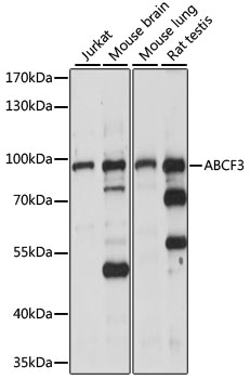 ABCF3 Antibody - Western blot analysis of extracts of various cell lines, using ABCF3 antibody at 1:1000 dilution. The secondary antibody used was an HRP Goat Anti-Rabbit IgG (H+L) at 1:10000 dilution. Lysates were loaded 25ug per lane and 3% nonfat dry milk in TBST was used for blocking. An ECL Kit was used for detection and the exposure time was 30s.