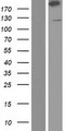 ABP-280 / FLNC Protein - Western validation with an anti-DDK antibody * L: Control HEK293 lysate R: Over-expression lysate