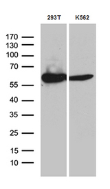 ACAD9 Antibody - Western blot analysis of extracts. (35ug) from 2 different cell lines by using anti-ACAD9 monoclonal antibody. (1:500)