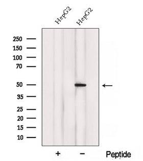 ACADL Antibody - Western blot analysis of extracts of HepG2 cells using ACADL antibody. The lane on the left was treated with blocking peptide.
