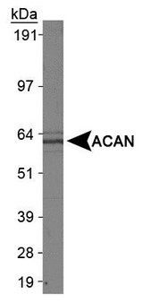 Western Blot: Aggrecan Neoepitope Antibody - Analysis of ACAN in L929 whole cell extract using ACAN antibody.  This image was taken for the unconjugated form of this product. Other forms have not been tested.
