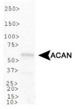 Western Blot: Aggrecan Neoepitope Antibody - Analysis of ACAN in U2OS cell lysate.  This image was taken for the unconjugated form of this product. Other forms have not been tested.