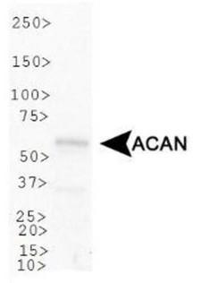 ACAN / Aggrecan Antibody - Western Blot: Aggrecan Neoepitope Antibody - Analysis of ACAN in U2OS cell lysate.  This image was taken for the unconjugated form of this product. Other forms have not been tested.