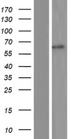 ACCN3 / ASIC3 Protein - Western validation with an anti-DDK antibody * L: Control HEK293 lysate R: Over-expression lysate
