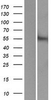 ACCN5 / HINAC Protein - Western validation with an anti-DDK antibody * L: Control HEK293 lysate R: Over-expression lysate
