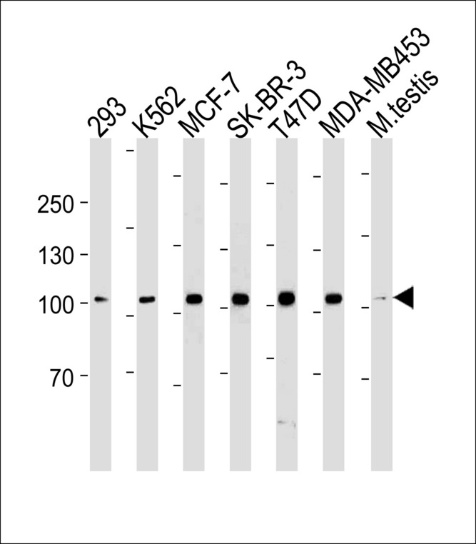 ACE2 (SARS Receptor) Antibody western blot of 293,K562,MCF-7,SK-BR-3,T47D,MDA-MB-453 cell line and mouse testis tissue lysates (35 ug/lane). The ACE2 antibody detected the ACE2 protein (arrow).