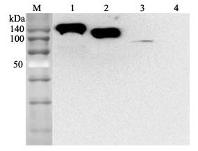 ACE2 / ACE-2 Antibody - Western blot analysis using anti-ACE2 (human), mAb (AC384) (Biotin) at 1:2000 dilution. 1: Human ACE2 Fc-fusion protein. 2: Human ACE2 (Ecto domain) (FLAG-tagged) . 3: HepG2 cell lysate. 4: Other Fc-fusion (hGITR-Fc) proteins (negative control) This image was taken for the unconjugated form of this product. Other forms have not been tested.